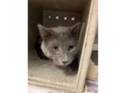 Adopt Haine a Gray or Blue Domestic Shorthair / Domestic Shorthair / Mixed cat