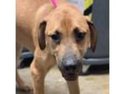 Adopt Nollie a Tan/Yellow/Fawn Retriever (Unknown Type) / Great Dane / Mixed dog