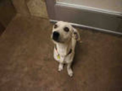 Adopt RICO SUAVE a Tan/Yellow/Fawn Dachshund / Mixed dog in Dallas