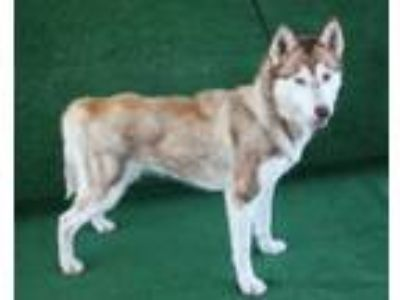 Adopt a Red/Golden/Orange/Chestnut - with White Husky / Mixed dog in Hanford