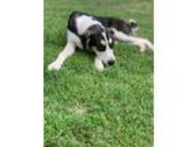 Adopt Casper a Tricolor (Tan/Brown & Black & White) Shepherd (Unknown Type) /