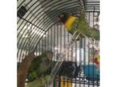 Adopt Bonita and Little man a Parakeet - Quaker bird in Grandview, MO (25529257)