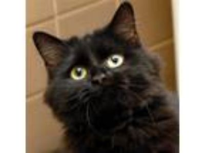 Adopt Darla a Domestic Longhair / Mixed cat in Des Moines, IA (25325422)