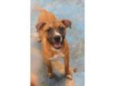Adopt Misty #3 a Boxer, Black Mouth Cur