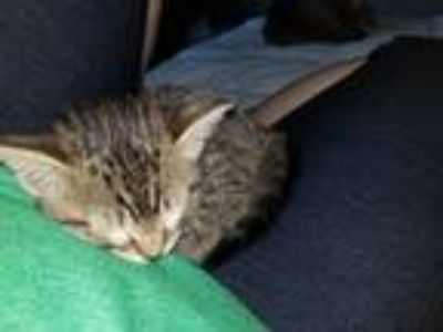 Adopt Daisy a Gray, Blue or Silver Tabby American Shorthair cat in Wylie