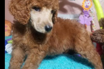 Poodle Olive Branch Classifieds Clazorg