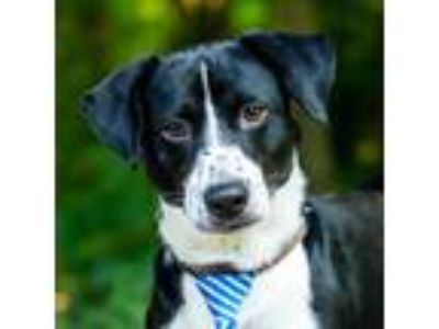 Adopt Wesley a Black - with White Border Collie / Dachshund / Mixed dog in