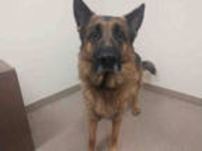 Adopt ROSCOE a Brown/Chocolate - with Black German Shepherd Dog / Mixed dog in