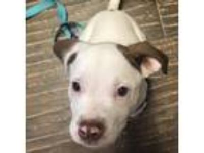 Adopt Bo-Round a White - with Tan, Yellow or Fawn Pit Bull Terrier dog in