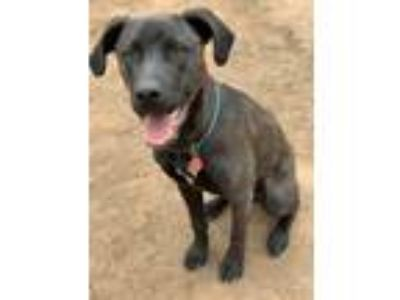 Adopt Lemmy a Brown/Chocolate Labrador Retriever / American Pit Bull Terrier dog