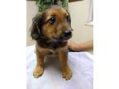 Adopt Jalepeo a Spaniel, Terrier