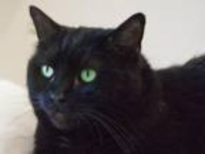 Adopt Jasmine a Domestic Shorthair / Mixed (short coat) cat in Cumberland