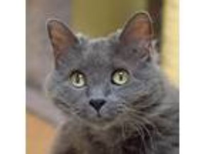 Adopt Dusty a Gray, Blue or Silver Tabby Domestic Longhair (long coat) cat in