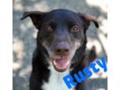 Adopt RUSTY a Border Collie, Pointer