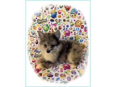 CKC Blue Merle Pomimo Puppy