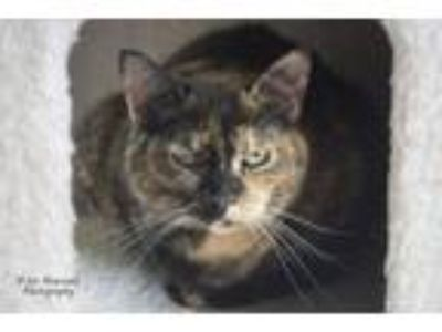 Adopt Miss Cleo a Domestic Short Hair