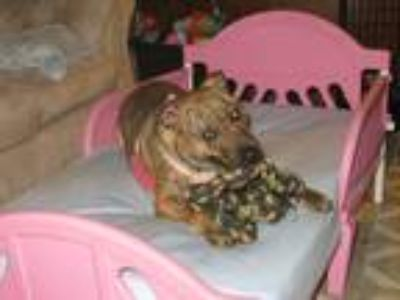 Adopt Bubbles a Brindle American Pit Bull Terrier / Boxer dog in Clay Center