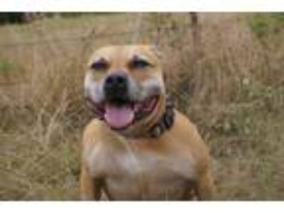 Adopt Hazel a Tan/Yellow/Fawn American Staffordshire Terrier / Mixed dog in