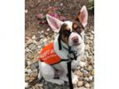 Adopt Valentine Texas a Australian Cattle Dog / Australian Terrier / Mixed dog