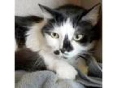 Adopt Oreo a All Black Domestic Mediumhair / Domestic Shorthair / Mixed cat in