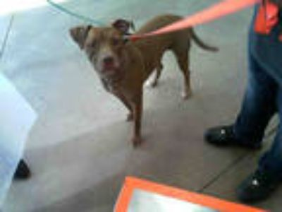 Adopt HALEY a Brindle American Pit Bull Terrier / Mixed dog in Dallas