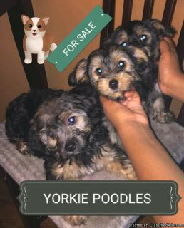 YORKIE POODLE PUPPIES FOR SALE