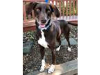 Adopt Bella a Labrador Retriever, Pointer