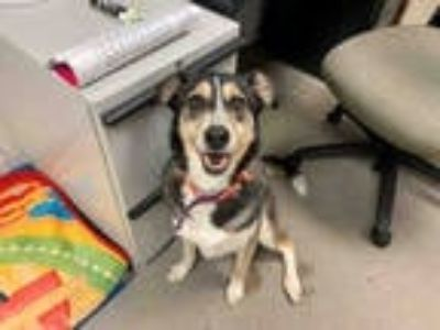 Adopt PEPPERMINT a Tan/Yellow/Fawn - with Black Husky / German Shepherd Dog /