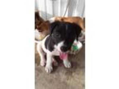 Adopt Po a Black - with White Spaniel (Unknown Type) / Jack Russell Terrier /