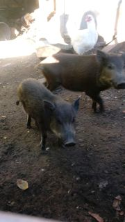 2 Pigs for sale both are females
