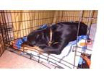 Adopt Zoe a Rottweiler
