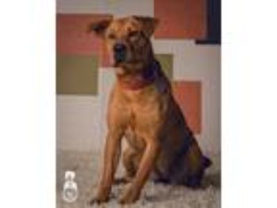 Adopt Rose a Red/Golden/Orange/Chestnut Shar Pei / Chow Chow / Mixed dog in