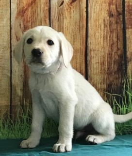 Labrador Retriever PUPPY FOR SALE ADN-81351 - Gabe