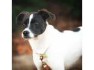Adopt Nova a White - with Black Jack Russell Terrier dog in Fayetteville