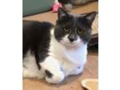 Adopt Shelby a Domestic Short Hair, Tuxedo