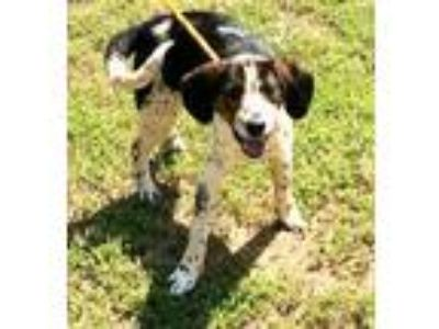 Adopt River a Black - with White Hound (Unknown Type) / Mixed dog in Newberry