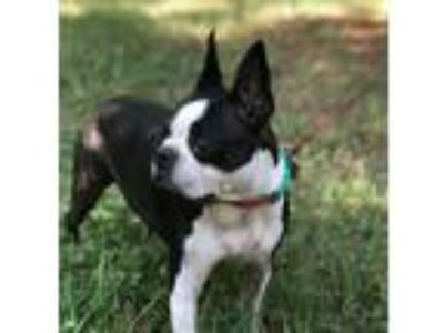 Adopt Brooklyn Belle GA a Black - with White Boston Terrier / Mixed dog in