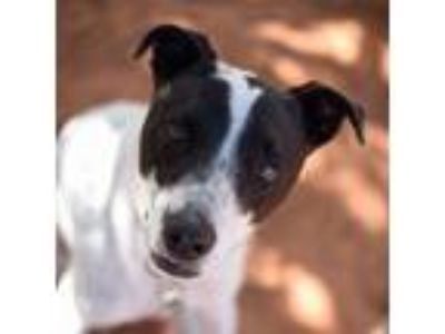 Adopt Monaco a Cattle Dog, Border Collie
