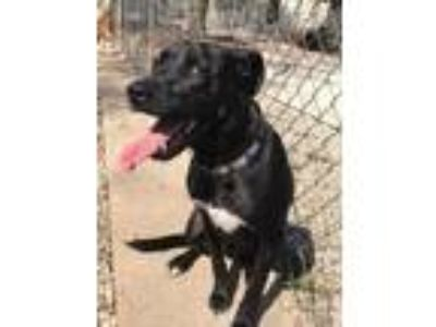 Adopt Brody a Black Labrador Retriever / Mixed dog in Manchester, MO (24965171)
