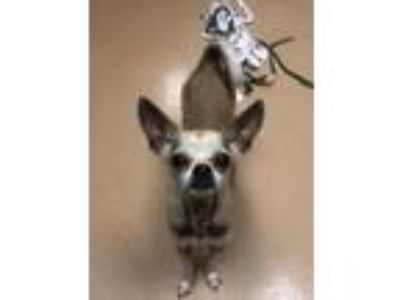 Adopt Noodle a Chinese Crested Dog, Pug
