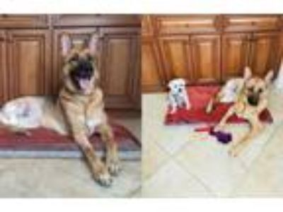 Adopt Griffin a Black - with Tan, Yellow or Fawn German Shepherd Dog / Mixed dog