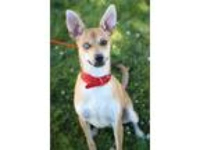 Adopt Ringo a Tan/Yellow/Fawn - with White Mixed Breed (Medium) / Mixed dog in