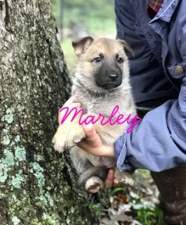 German Shepherd Dog PUPPY FOR SALE ADN-101121 - Pure German Shepherd