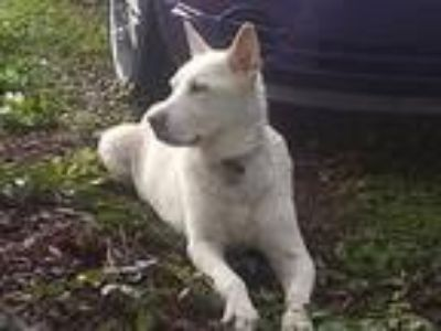 Adopt Nanook a White German Shepherd