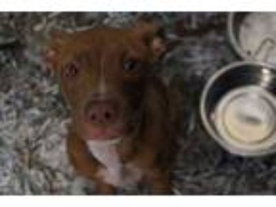 Adopt PATTI a Brown/Chocolate - with White American Pit Bull Terrier / Mixed dog