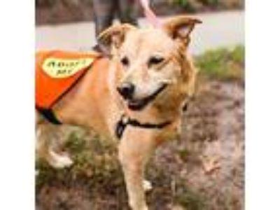 Adopt Daisy the Lab a Labrador Retriever