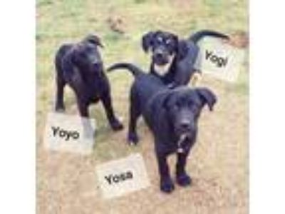 Adopt Yosa a Black German Shepherd Dog / Labrador Retriever / Mixed dog in