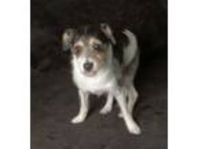 Adopt Oreo a Jack Russell Terrier