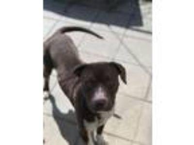 Adopt Ben a Hound, Pit Bull Terrier