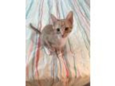 Adopt CP - NC - Daisy a Domestic Short Hair